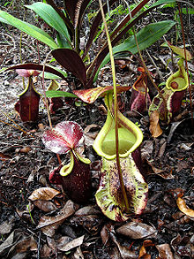 Nepenthes rafflesiana squat2.jpg