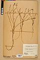 Neuchâtel Herbarium - Calepina irregularis - NEU000022933.jpg