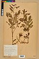 Neuchâtel Herbarium - Impatiens noli-tangere - NEU000019946.jpg