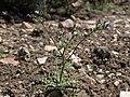 Nevada gilia, Gilia brecciarum subsp. brecciarum (49093858626).jpg