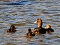 New Zealand Scaup (female) with chicks 4.jpg