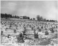 Newberry County, South Carolina. A pine plantation on submarginal farm lands on the Enoree District . . . - NARA - 522782.tif