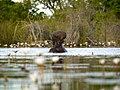 Nijlpaard in de Okovango Delta (6558966177).jpg