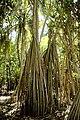 Nikumaroro Pandanus AKK.jpg