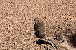 Southern boobook - Subspecies ocellata, Central Australia