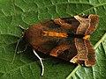 Noctua fimbriata - Broad-bordered yellow underwing - Земляная совка каёмчатая (41089362381).jpg
