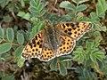 Noordwijk - Kleine parelmoervlinder (Issoria lathonia) v5.jpg