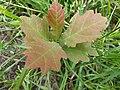 Noordwijk - Zomereik (Quercus robur) v2.jpg