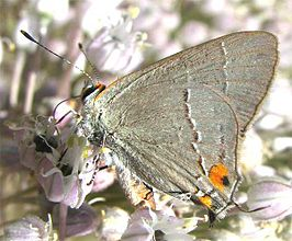 Northern Hairstreak.jpg