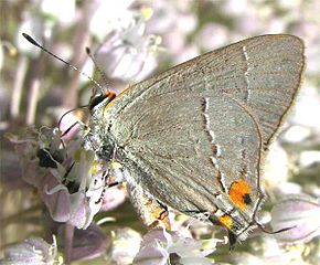 Description de l'image Northern Hairstreak.jpg.