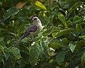 Northern Mockingbird Cincinnati Ohio (30130621).jpeg