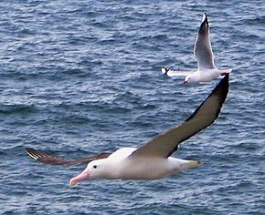 Description de l'image Northern Royal Albatross with Red-billed Gull Taiaroa Head Sept 2007.jpg.
