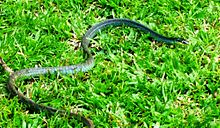 Dendrelaphis calligastra - Wikipedia, the free encyclop