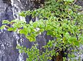 Nothofagus Gunnii summer foliage with flowers.JPG
