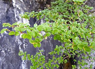 <i>Nothofagus gunnii</i> Species of plant (fossil)