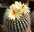 Notocactus scopa.jpg