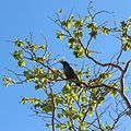 Nucifraga caryocatactes japonica (singing).JPG
