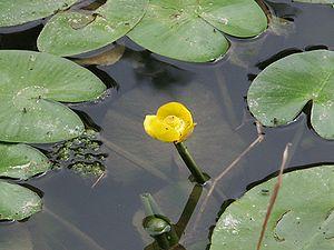 Seeblatt - The natural water lily leaf