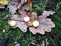 Oak Galls in Ness Woods - geograph.org.uk - 637195.jpg