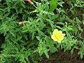 Oenothera laciniata.JPG