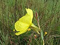 Oenothera stricta flower9 (15682003182).jpg
