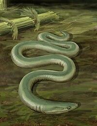 http://upload.wikimedia.org/wikipedia/commons/thumb/8/80/Oestocephalus.jpg/200px-Oestocephalus.jpg