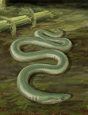 Lepospondyli - Oestocephalus, an early lepospondyl
