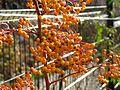 Ognik szkarłatny (Pyracantha coccinea M.Roem) 08.jpg