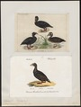 Oidemia perspicillata - 1700-1880 - Print - Iconographia Zoologica - Special Collections University of Amsterdam - UBA01 IZ17700145.tif