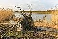 Ontwortelde boom bij vogelkijkhut De Krakeend. Locatie, Oostvaardersplassen 01.jpg