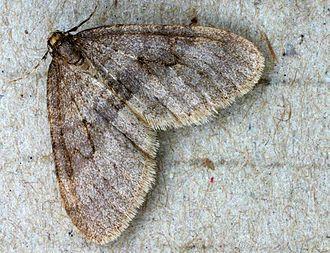 Winter moth - Image: Operophtera brumata 01