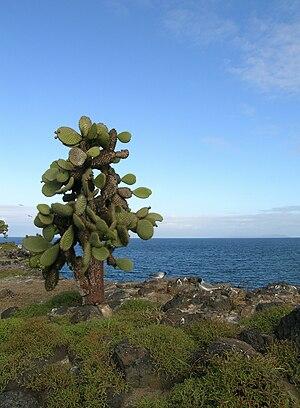 Santa Fe Island - Prickly pear cactus and swallow-tailed gulls on Santa Fe Island