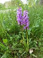 Orchis mascula 13.JPG