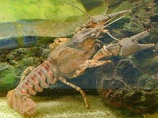 <i>Orconectes</i> genus of crustaceans