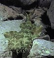 Orectolobus maculatus montague island.jpg