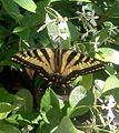 Oregon Swallowtail.jpg