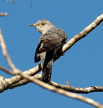 Oriental cuckoo - Image: Oriental Cuckoo Maiala