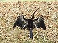 Oriental Darter Anhinga melanogaster by Dr. Raju Kasambe DSCN1615 (10).jpg