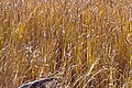 Outback Grasses catch the light - panoramio.jpg