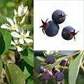 Owoce Świdośliwa.jpg