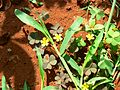 Oxalis corniculata (505722643).jpg