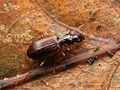 Oxypselaphus obscurus - NL-Havelte.jpg