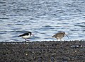 Oystercatcher and Curlew, Ringmore on the Teign.jpg