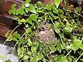 Pássaro no ninho - panoramio (1).jpg