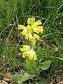 PRIMULA VERIS - MORROCURT - IB-966 (Primavera).JPG