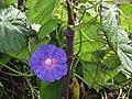 PURPLE FLOWER - panoramio.jpg