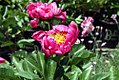 Paeonia lactiflora Clown 0zz.jpg