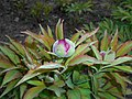 Paeonia mascula 2016-04-19 7728.JPG