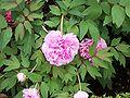 Paeonia suffruticosa RJB.jpg