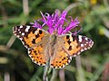 Painted Lady (20632198418).jpg